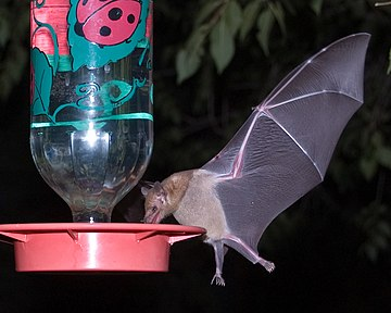 Mexican long-tongued bat Long-Tongued Bat at hummingbird feeder cropped.jpg
