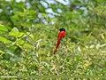 Long-tailed Minivet (Pericrocotus ethologus) (23911978388).jpg