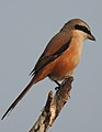 Long-tailed Shrike by Dr. Raju Kasambe DSCN7156 (18).jpg