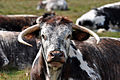 Longhorn cattle at clumber park.jpg