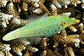 Longnose Filefish - Oxymonacanthus longirostris.jpg