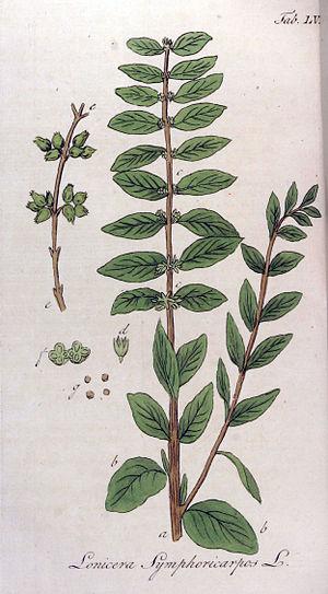 Symphoricarpos - Image: Lonicera symphoricarpos Ypey 55