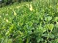 Lotus maritimus (var. siliquosus) sl28.jpg