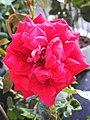 Love and Roses กุหลาบกับความรัก (16).jpg