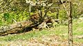 Luchs auf Baumstamm 2.jpg