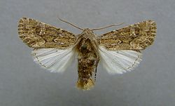 Luperina nickerlii.jpg