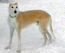 Lurcher (type Greyhound)