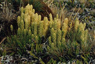 Strobilus - Image: Lycopodium saururus