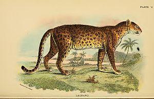 Leopard / Felis pardus