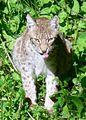 Lynx canadensis.jpg