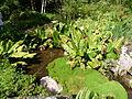 Lysichiton americanus-Jardin d'altitude du Haut-Chitelet (1).JPG