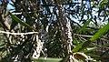M.citrina woody capsules.jpg