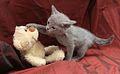 Mały kot rosyjski niebieski 2 m-ce.jpg