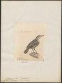 Macronus epilepidotus - 1700-1880 - Print - Iconographia Zoologica - Special Collections University of Amsterdam - UBA01 IZ16500039.tif