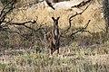 Macropus fuliginosus (32663696845).jpg