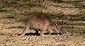 Macropus parma Parc des Oiseaux 21 10 2015 1.jpg