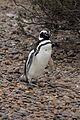 Magellanic Penguin (Spheniscus magellanicus) (15770106327).jpg