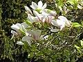 Magnolia (Magnolia) (01).jpg