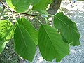 Magnolia acuminata leaves 01 by Line1.jpg