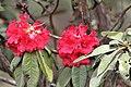 Maha Rathmal (Rhododendron arboreum subsp. zeylanicum).jpg