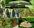 Malabar Autumn leaf life cycle @madayippara ,kannur.jpg