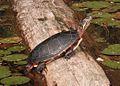 Male Painted Turtle Basking.JPG