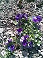 Malpighiales - Viola x wittrockiana 1 - 2011.04.19.jpg