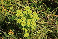 Malta - Mellieha - Triq l-Armier - Euphorbia helioscopia 01 ies.jpg