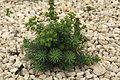Malta - Mellieha - Triq l-Inkurunazzjoni - Euphorbia pinea 02 ies.jpg