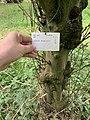Malus brevipes (Rehder) Rehder cultivated in Royal Botanic Gardens, Kew. Plaque.jpg