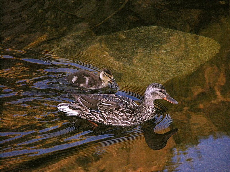 File:Mama and baby go for a morning swim on Miller Lake in Rocky Mountain National Park. NPS-Marianne Tucker (18680270692).jpg