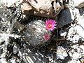Mammillaria haageana (5736101601).jpg