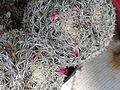Mammillaria perbella 2.JPG