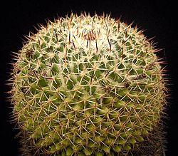 Mammillaria wiesingeri ssp apamensis1 ies.jpg