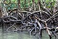 Mangrooves at Baratang Island.jpg