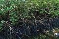 Mangrove Zanzibar.jpg