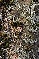 Marchandiomyces aurantiacus on Physcia sp. (27223632298).jpg