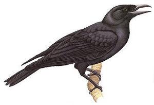 Mariana crow - Image: Mariana Crow Corvus kubaryi
