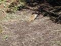 Marmotte commune - Perce 02.jpg