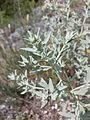 Marrubium peregrinum sl8.jpg
