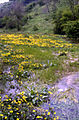 Marsh Marigold in Monk's Dale - geograph.org.uk - 92526.jpg