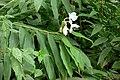 Matandrea, Jengibre, Bengible, Heliotropo, Conga (Hedychium coronarium) - Flickr - Alejandro Bayer.jpg