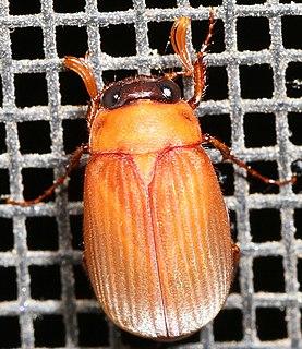 <i>Nipponoserica</i> Genus of beetles