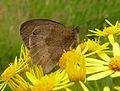 Meadow Brown .u-s. Maniola jurtina - Flickr - gailhampshire.jpg