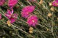 Melaleuca hollidayi.jpg