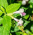 Melittis melissophyllum in Causse Comtal (2).jpg