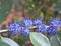 Memecylon umbellatum flowers at Peravoor (7).jpg