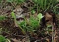 Menyanthes trifoliata kz02.jpg