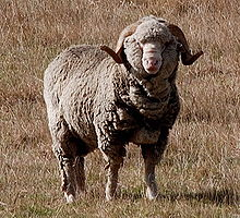 220px-Merino_New_Zealand dans MOUTON