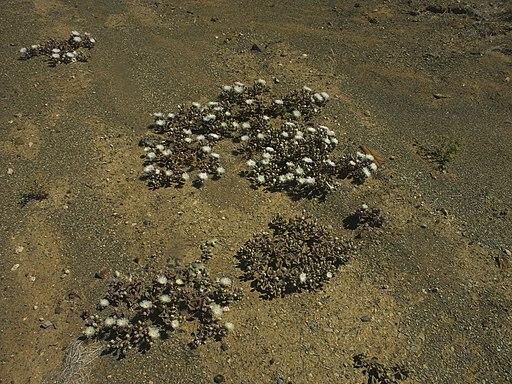 Mesembryanthemum crystallinum - Eispflanze PICT0021